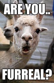 are you.. furreal? - Surprised Alpaca - quickmeme via Relatably.com