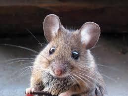 Resultado de imagem para rato amigo