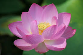 Image result for images of lotus