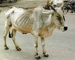 Image result for thin cow