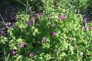 mirabilis oblongifolia