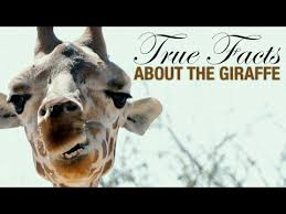 True Facts: The Wacky <b>Giraffe</b>