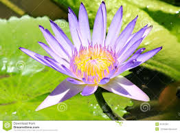 Resultado de imagem para flor em botão
