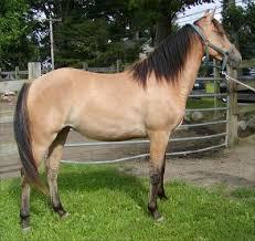 Résultat de recherche d'images pour 'photos de chevaux de robe isabelle'