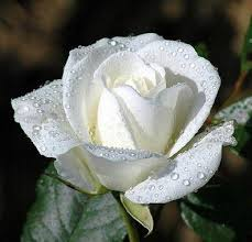 "Image result for ""pope benedict' ""a white rose"" flowers"
