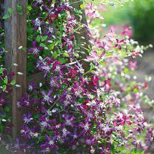 Clematis <b>Sweet Summer Love</b>   White Flower Farm
