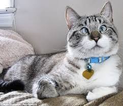 Are there any special considerations for adopting a <b>cross</b>-<b>eyed cat</b> ...