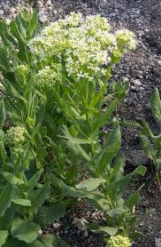 Cardaria draba Calflora
