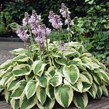 Image result for hosta plant