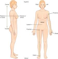 anatomical position definition medical terminology medical anatomical position definition medical terminology