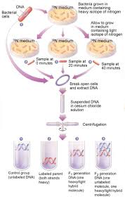 brief notes on semi conservative mode of dna replication  brief notes on semi conservative mode of dna replication 2 experiments