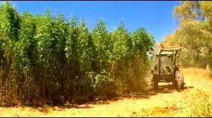 From Growing Tobacco to Growing Hemp