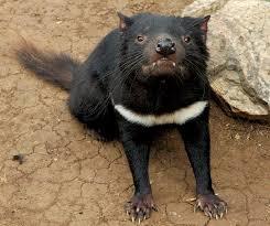 List of mammals of Tasmania - Wikipedia