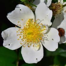 Rosa Sempervirens (Rambling Rose) | Peter Beales Roses - the ...
