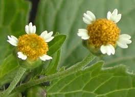 Galinsoga parviflora - ficha informativa