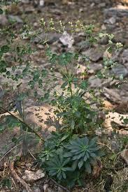 Euphorbia semiperfoliata, flora di Sardegna