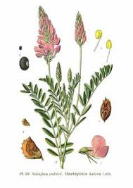 Onobrychis viciifolia Sainfoin PFAF Plant Database