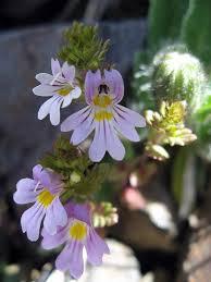 Euphrasia salisburgensis - Wikipedia
