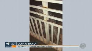 Porco-espinho é retirado de motor de carro após se esconder de cachorros em Guaíra, SP