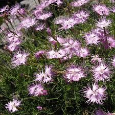 DIANTHUS MONSPESSULANUS SEEDS (Fringed Pink ) - Plant ...