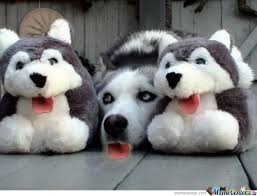Siberian Husky Memes. Best Collection of Funny Siberian Husky Pictures via Relatably.com