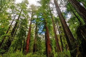 <b>Giant</b> Sequoias and Redwoods: The Largest and Tallest <b>Trees</b>   <b>Live</b> ...