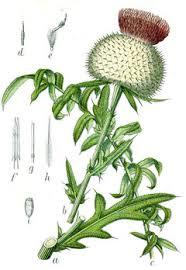 Cirsium eriophorum Wooly Thistle PFAF Plant Database