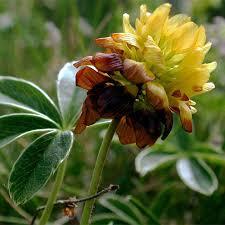 TRIFOLIUM BADIUM SEEDS (Brown Clover and trèfle bai) - Plant ...