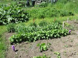 squash samsallotment plot 1