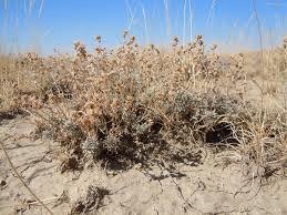 Artemisia pedatifida - Wikipedia