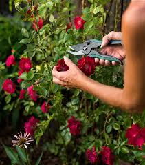 potatura delle rose