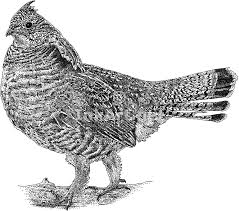 Small Picture Ruffed Grouse Bonasa umbellus Line Art and Full Color Illustrations