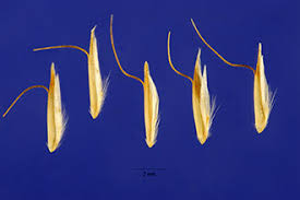 Plants Profile for Trisetum spicatum (spike trisetum)