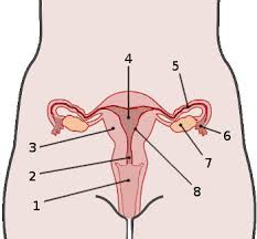 free anatomy quiz   the anatomy of the female reproductive system    female reproductive system  labelled