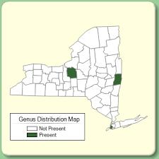 Apium - Genus Page - NYFA: New York Flora Atlas - NYFA: New ...