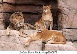 Resultado de imagem para leão e suas leoas