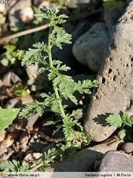 Verbena supina | Flora-On