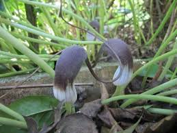 Arisarum Mouse Plant Info - Tips For Growing Mouse Tail Arums
