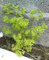 Euphorbia peplus - Wikipedia