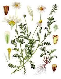 Anthemis arvensis Corn Chamomile PFAF Plant Database