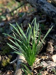 Narcissus poëticus L. - Schede delle erbe, piante e fiori spontanei ...