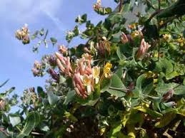 Lonicera implexa - Wikipedia