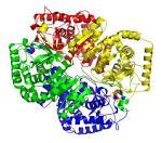 lactate dehydrogenases