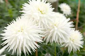 <b>White Dahlias</b> to Grow - BBC Gardeners' World Magazine