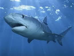 Bildergebnis für акулы тупорылые