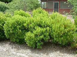 Arbutus unedo 'Compacta' | California Flora Nursery
