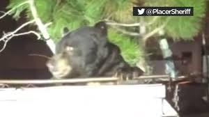 <b>Bear</b> named '<b>T</b>-<b>shirt</b>' frees itself from dumpster - YouTube