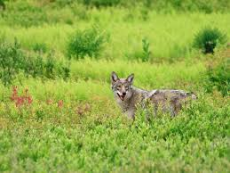 Coyote-Wolf Hybrids Have Spread Across U.S. East