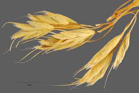 Bromus squarrosus – Wikipédia, a enciclopédia livre