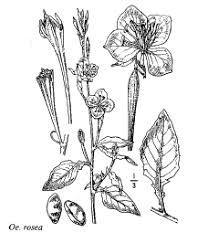 Sp. Oenothera rosea - florae.it